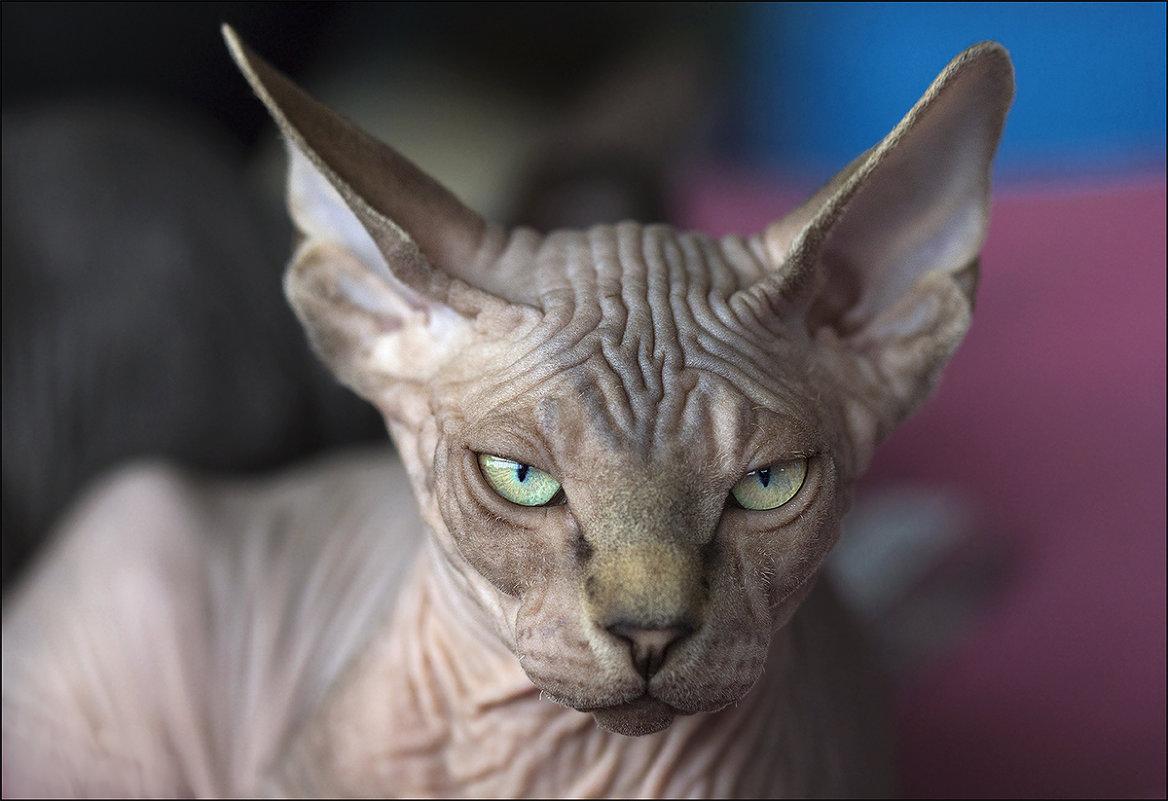 есть ли аллергия на лысых кошек