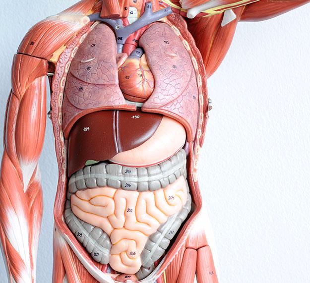 Органы человека по отдельности