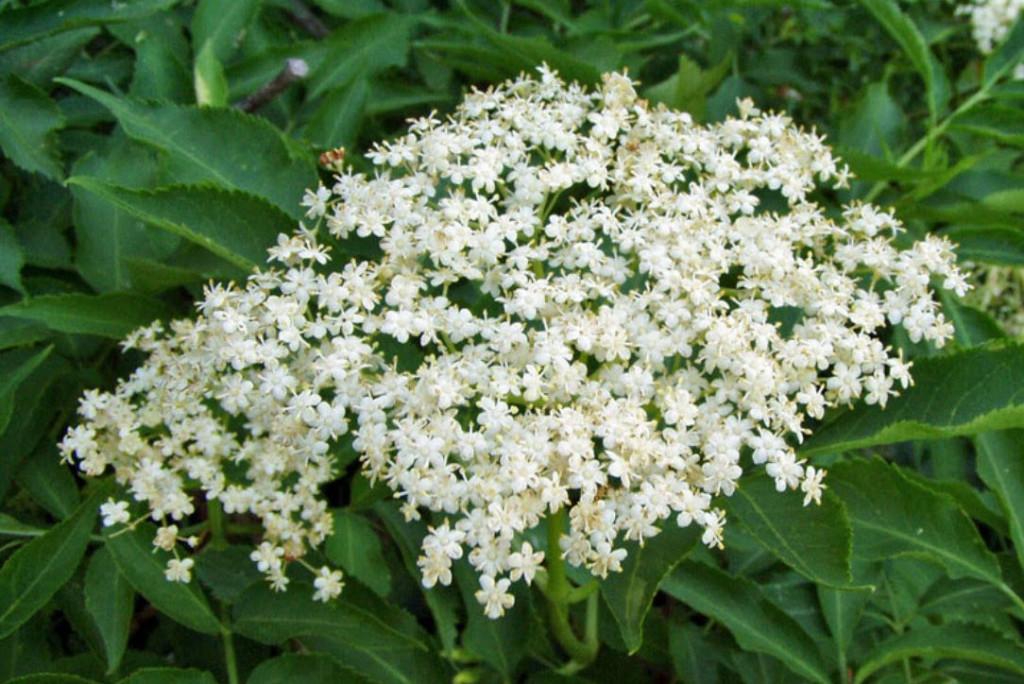 Цветки черной бузины лечебные свойства