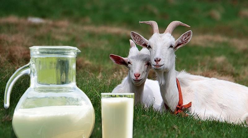 Чем полезно козье молоко взрослым