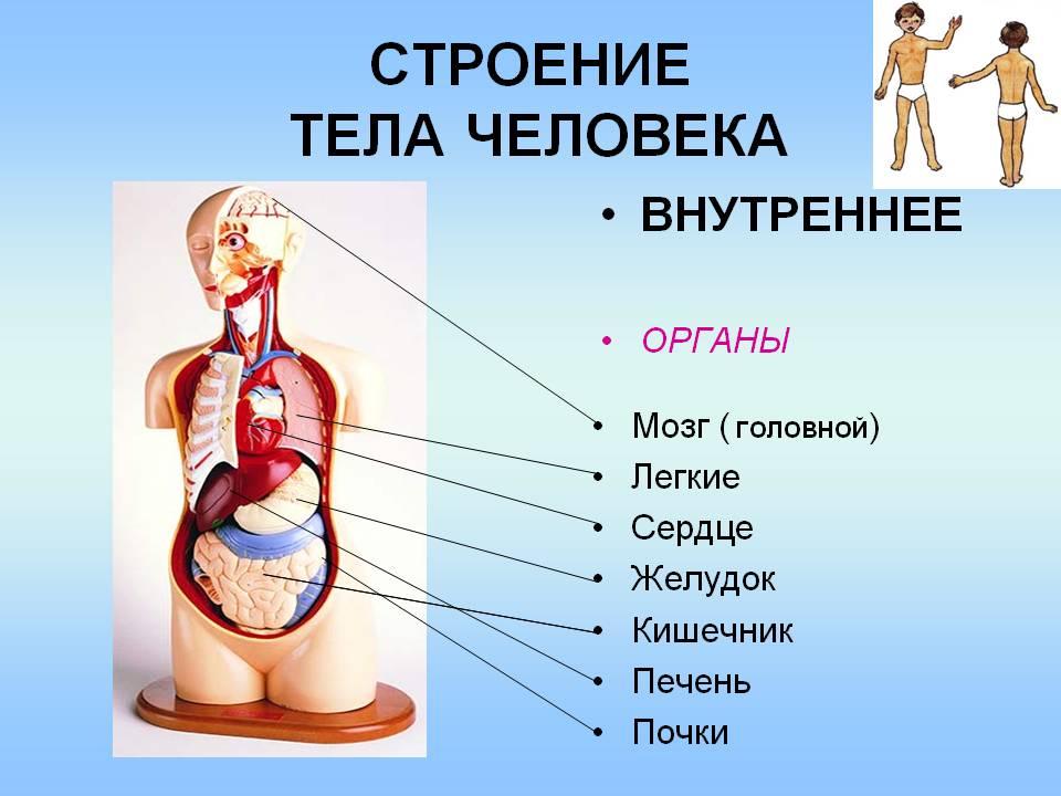 Внутренний органы человека в картинках