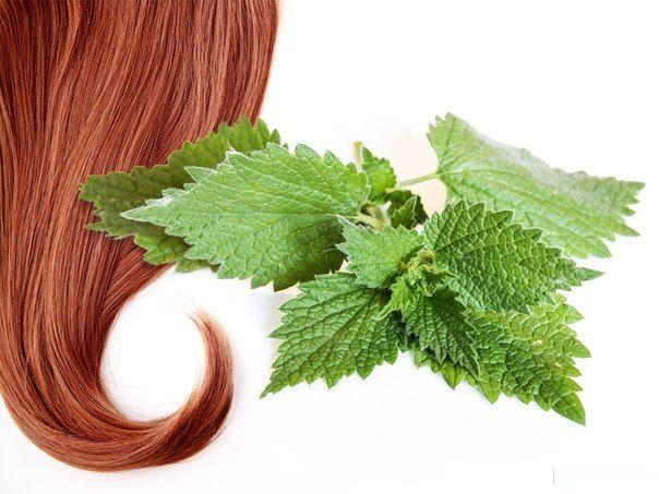 Крапива для роста волос. Крапива против выпадения волос