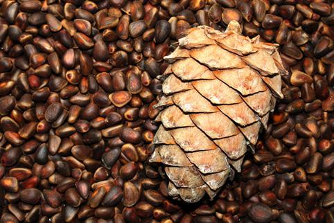 Скорлупа кедрового ореха - применение в народной медицине